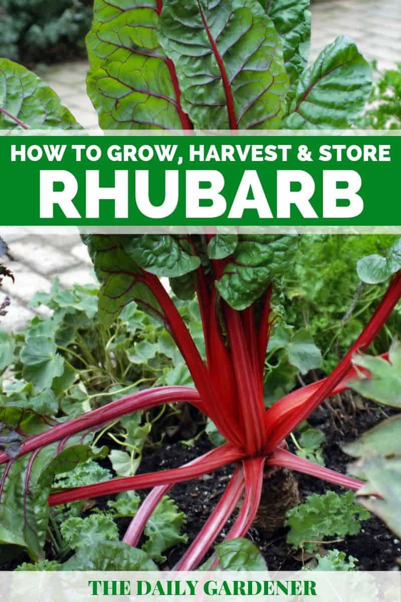 growing rhubarb 1