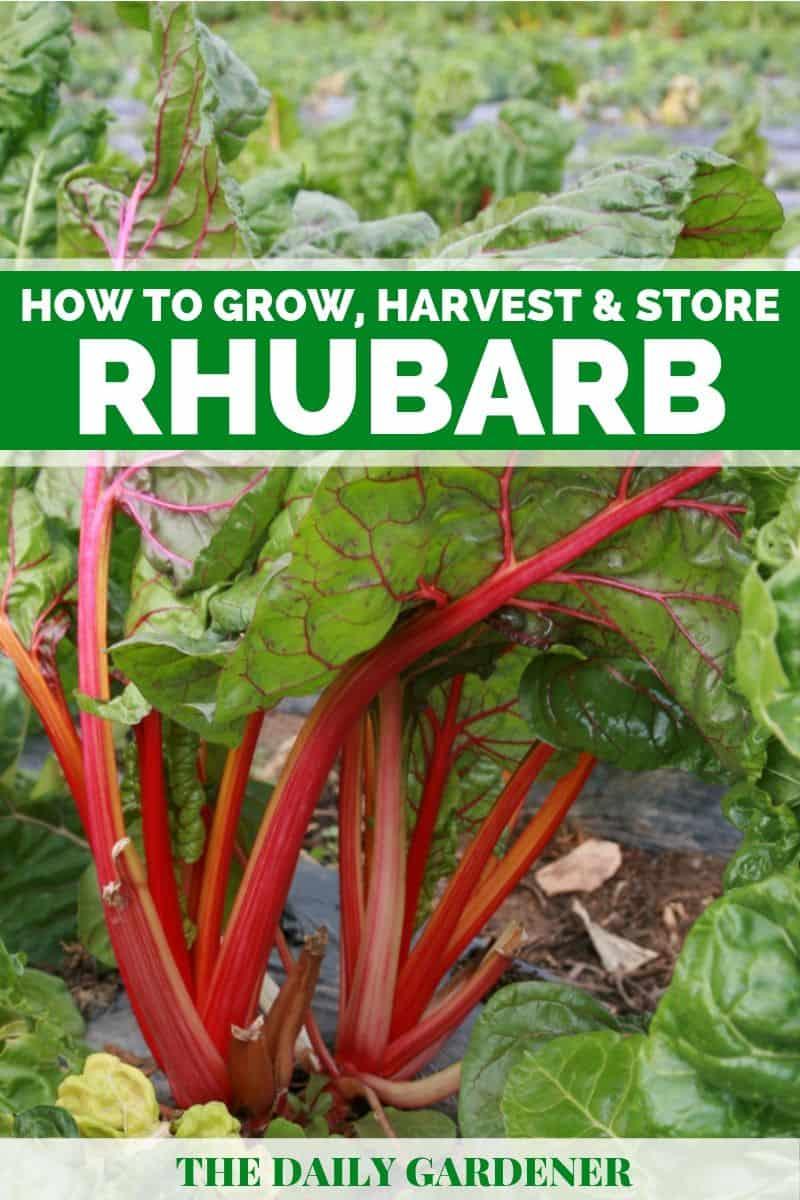 growing rhubarb 2