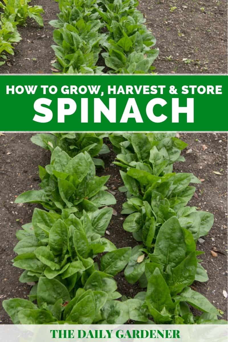 growing spinach 1