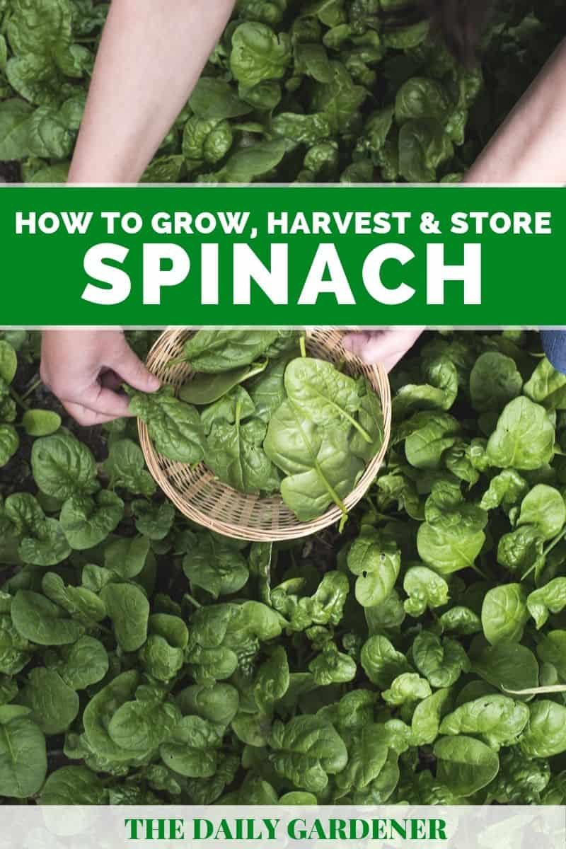 growing spinach 2