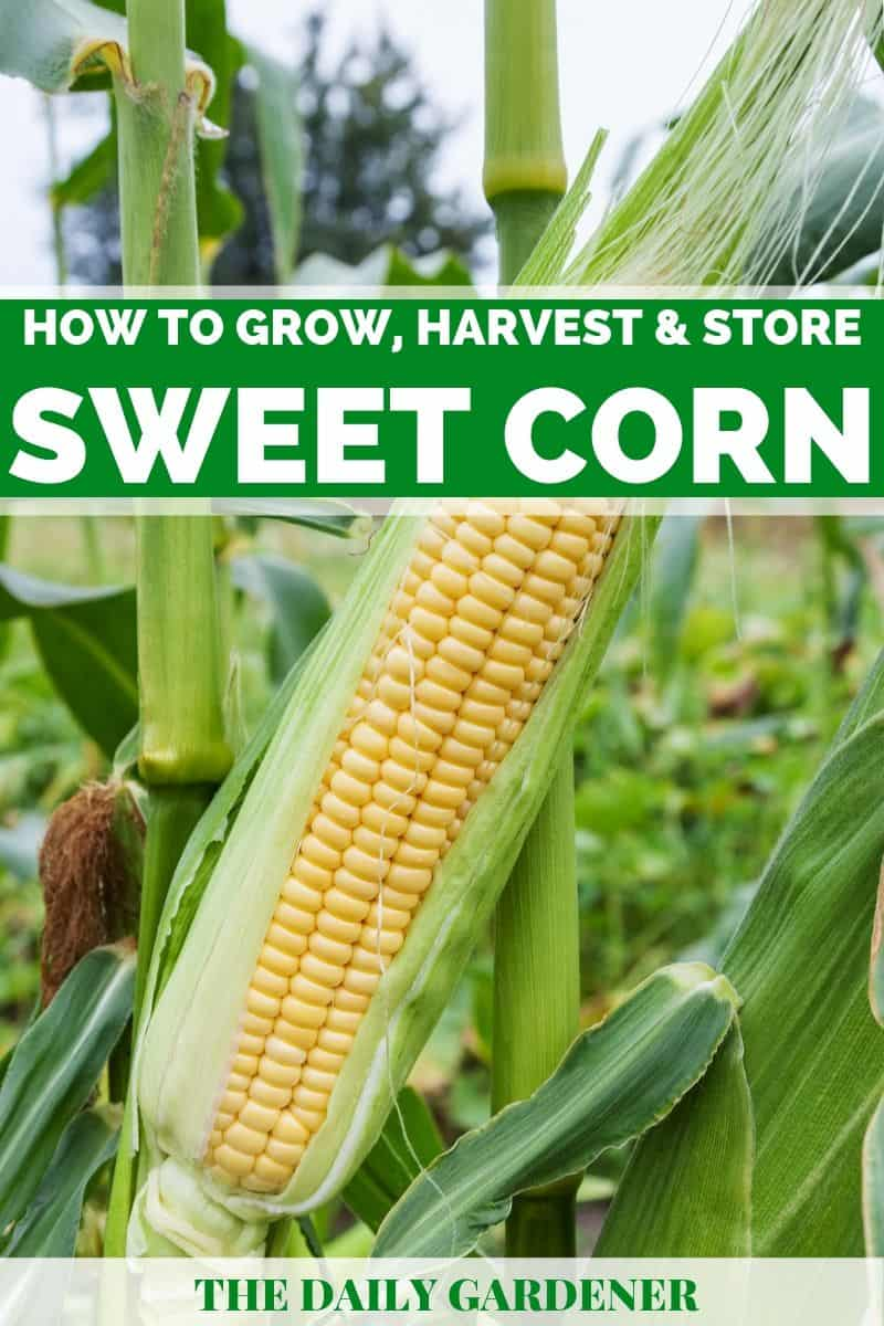 growing sweet corn 1