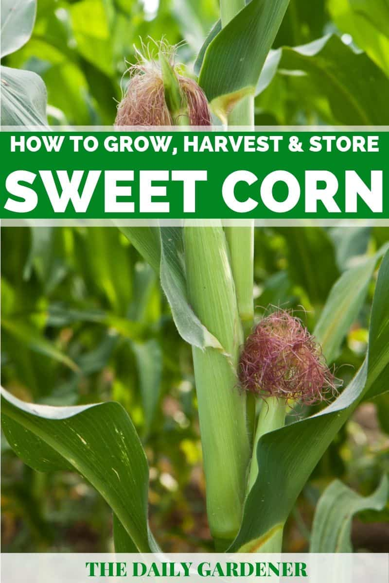 growing sweet corn 2