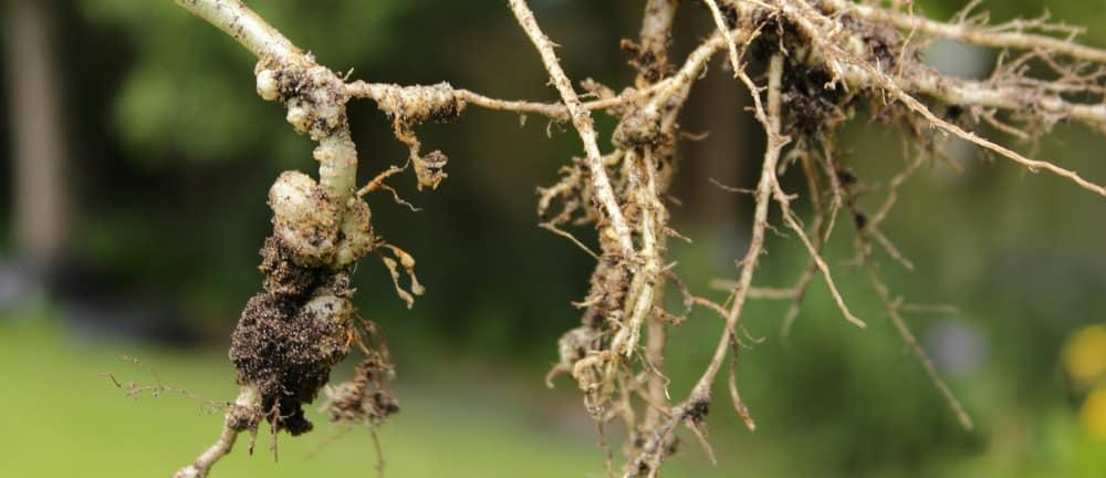 okra Root-Knot Nematode