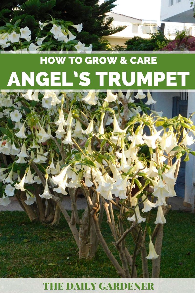 Angel's Trumpet Plant 1