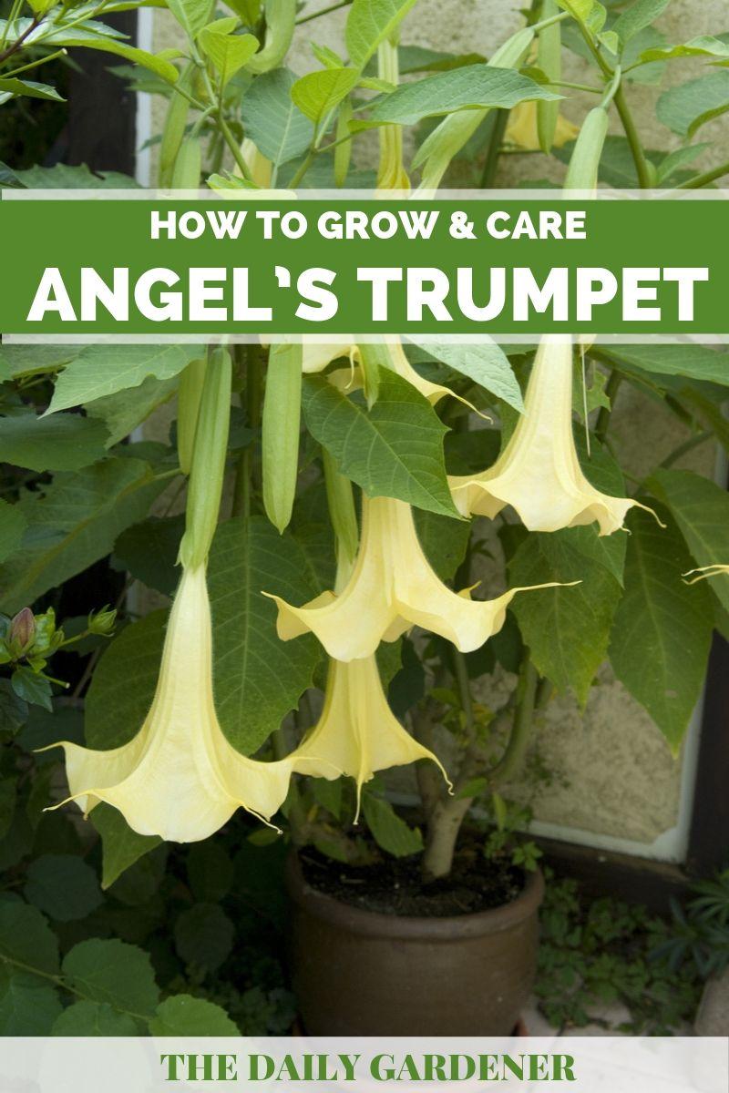Angel's Trumpet Plant 2