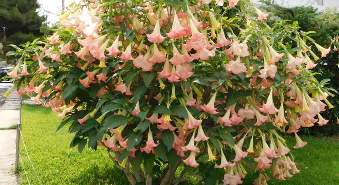 Angel's Trumpet Plant: How to Grow & Care in Your Garden