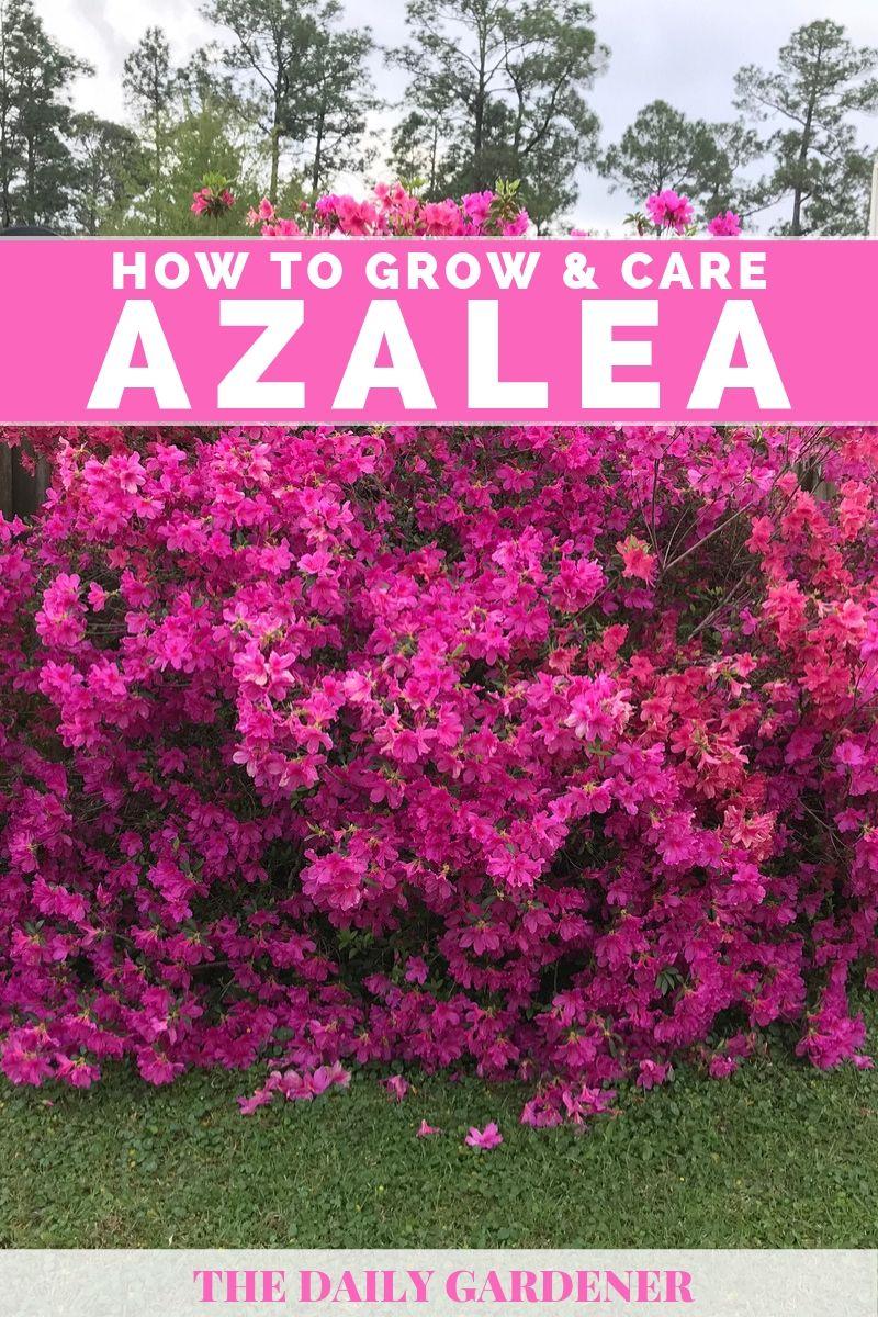 Azalea 2