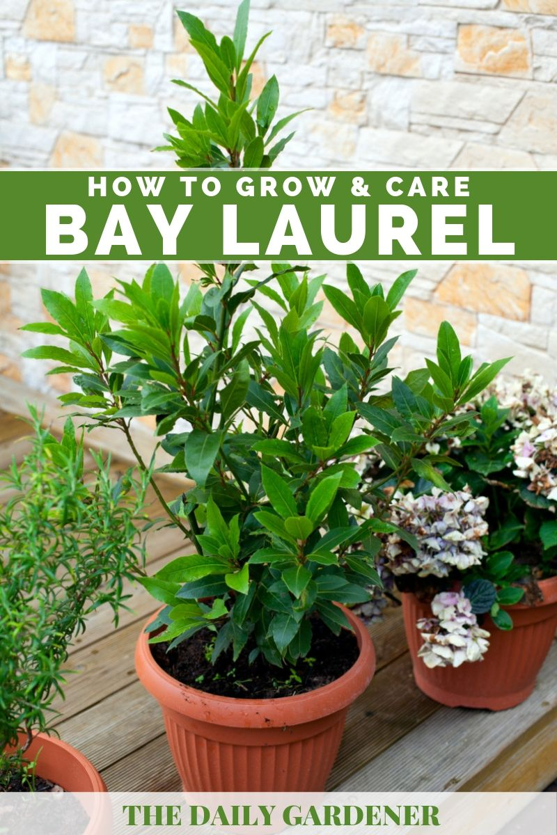 Bay Laurel 1