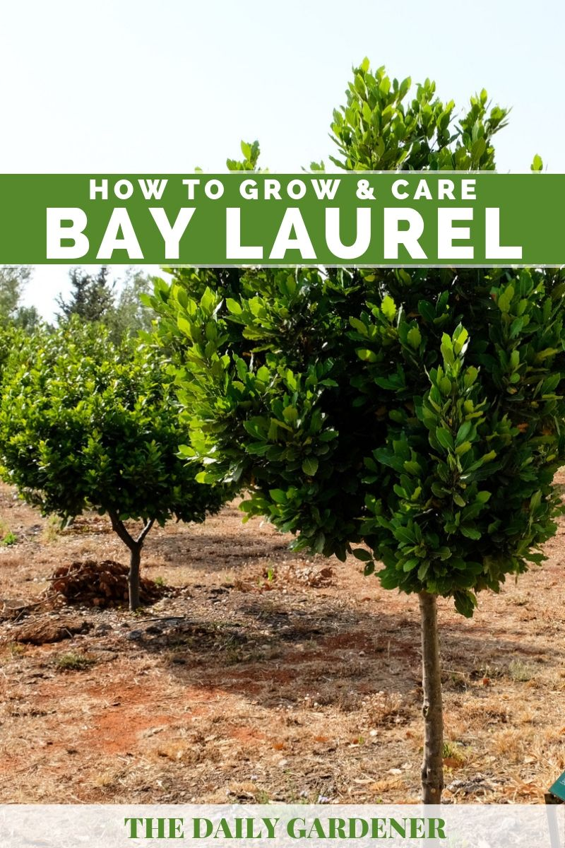 Bay Laurel 2
