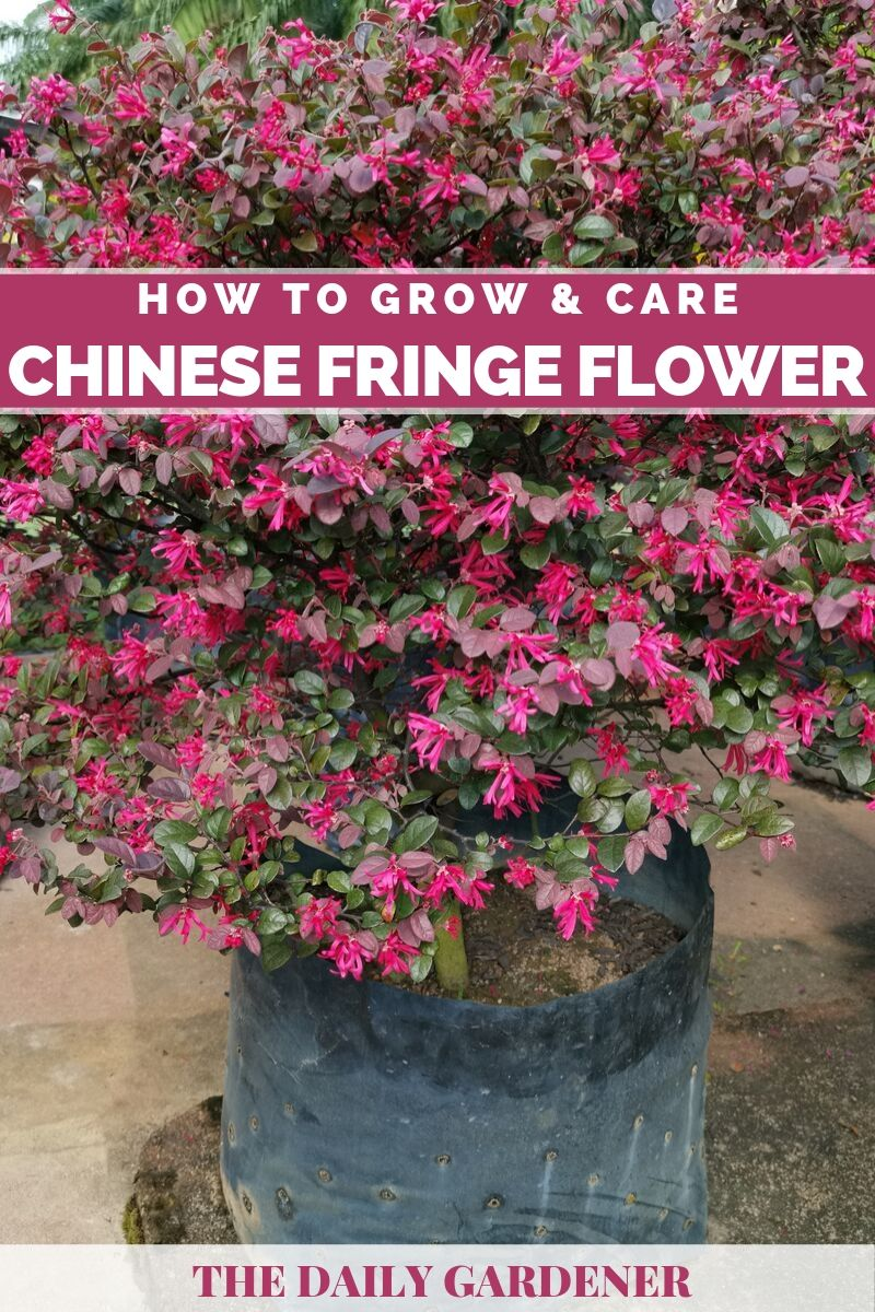 Chinese Fringe Flower 1
