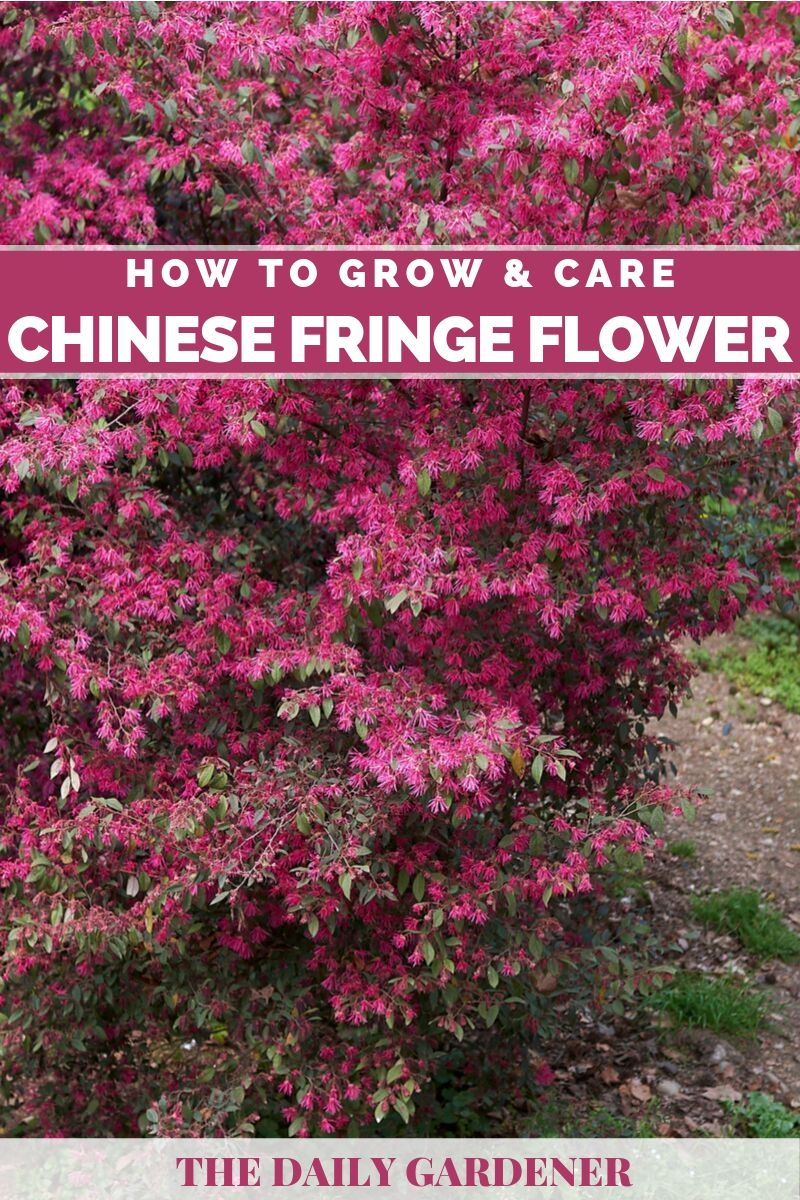 Chinese Fringe Flower 2