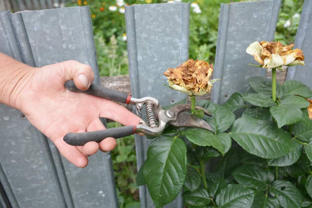 Deadheading rose