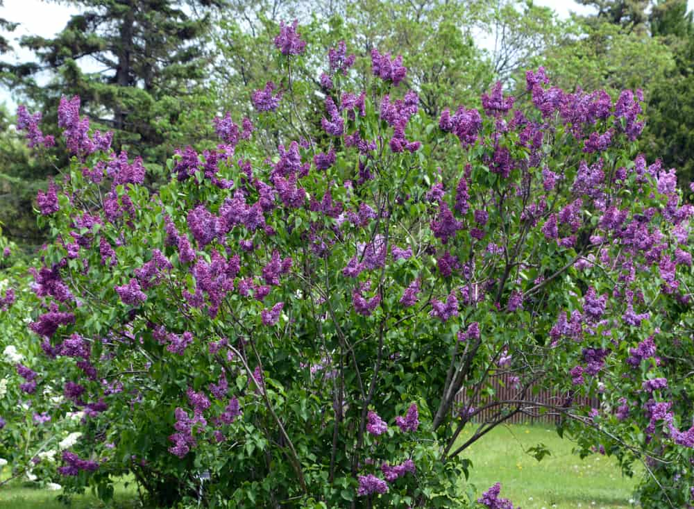 Facts About Lilacs