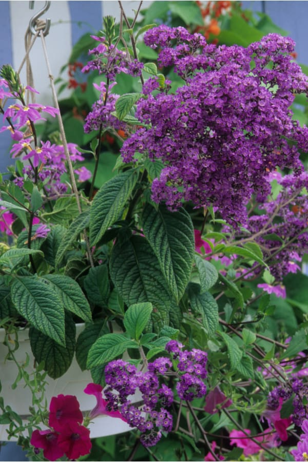 Facts about Heliotrope 1