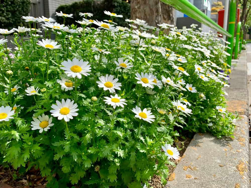 Feverfew Herbal Lore
