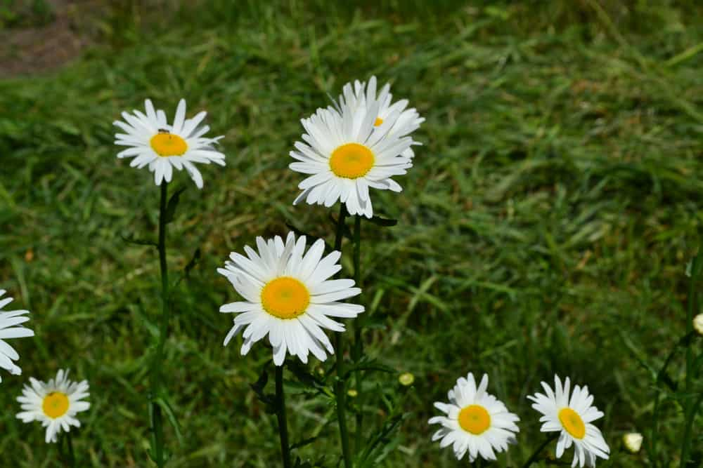 Feverfew Possible Side Effects