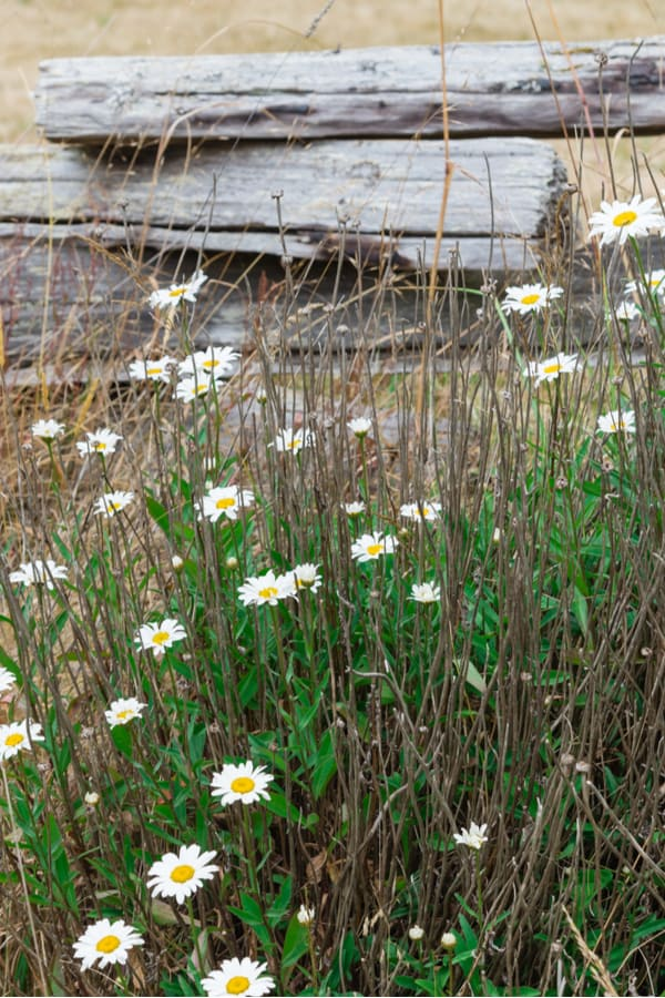 Feverfew Pruning and deadheading