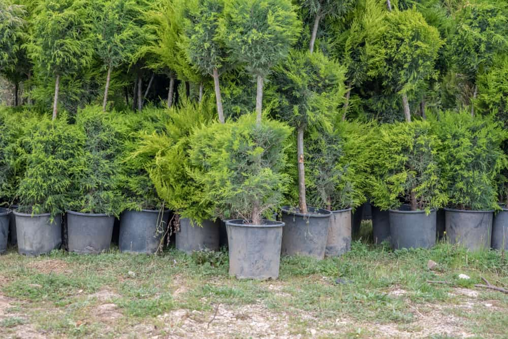 Green Leylandii