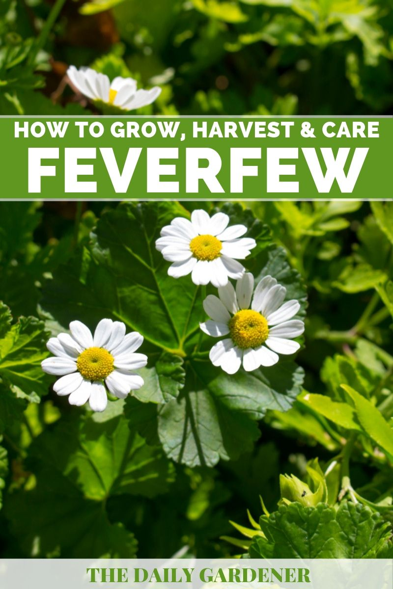 Growing Feverfew 1