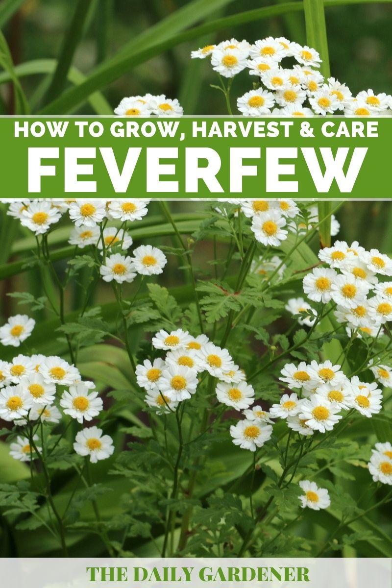 Growing Feverfew 2