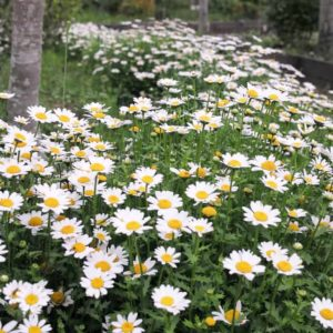 Growing Feverfew A Bushy Medical Herb can Get Ride of Pests