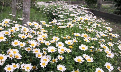 Growing Feverfew: A Bushy Medical Herb can Get Ride of Pests