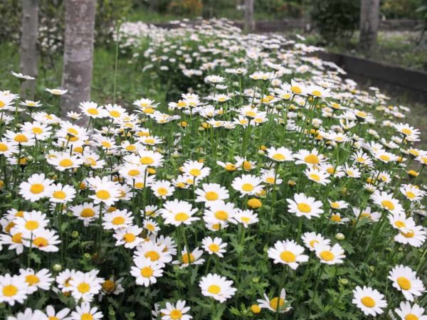 How to Plant Feverfew in Your Garden (Tricks to Care!)