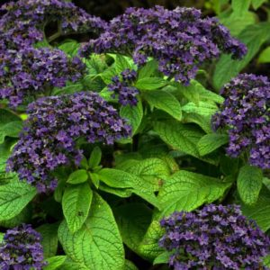 Growing Heliotrope The Exotic Blooms of Sun and Love