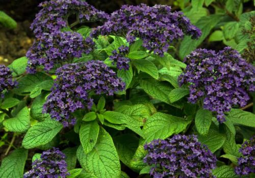 Growing Heliotrope: The Exotic Blooms of Sun and Love