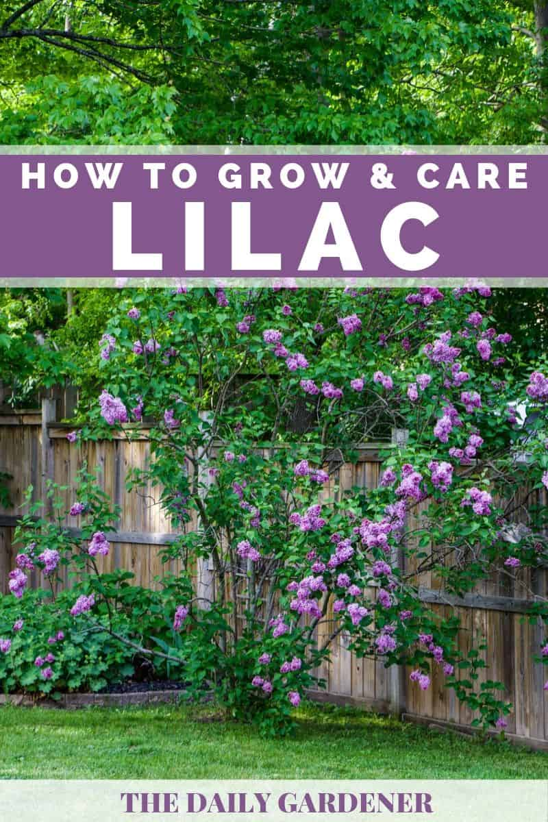 Growing Lilac 3