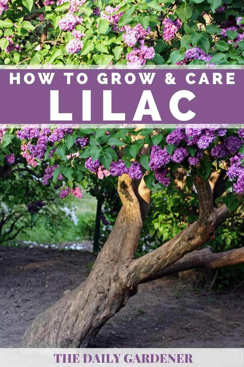 Growing Lilac 4