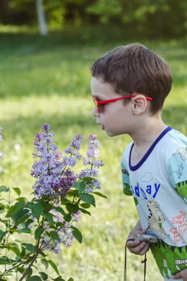 Growing Lilac: An Old Favorite Shrub with Colorful Flowers