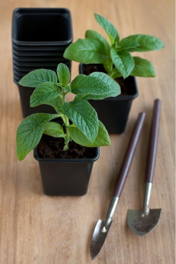 Heliotrope Seeding 1