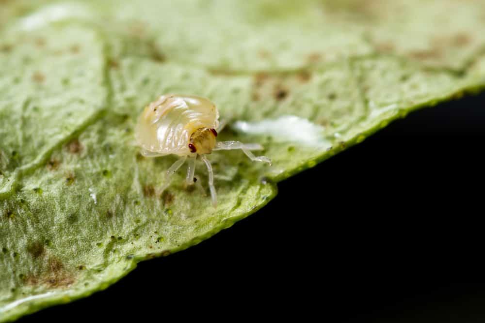 Heliotrope Spider mites