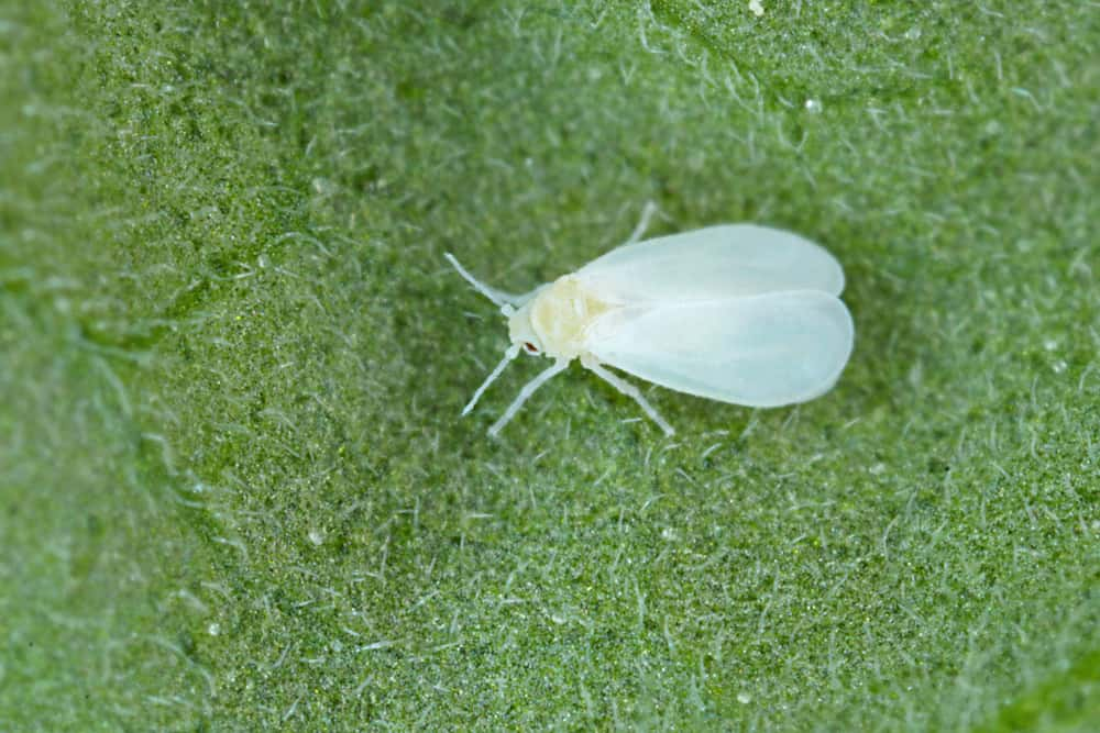 Heliotrope Whiteflies