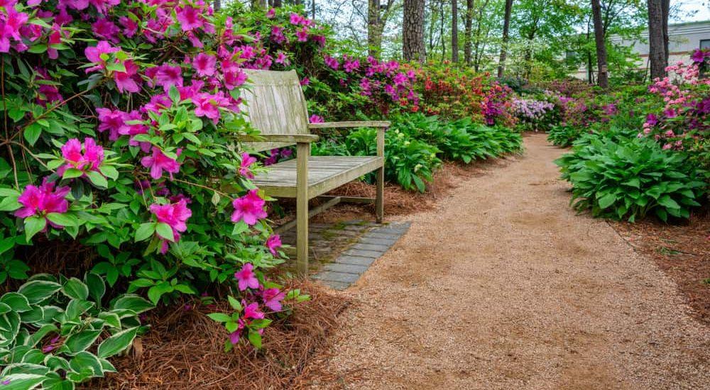 How to Grow & Care Azalea in Your Garden