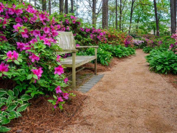 How to Grow Azalea in Your Garden (Tricks to Care!)