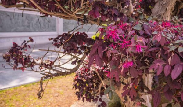 How to Grow & Care Chinese Fringe Flower in Your Garden