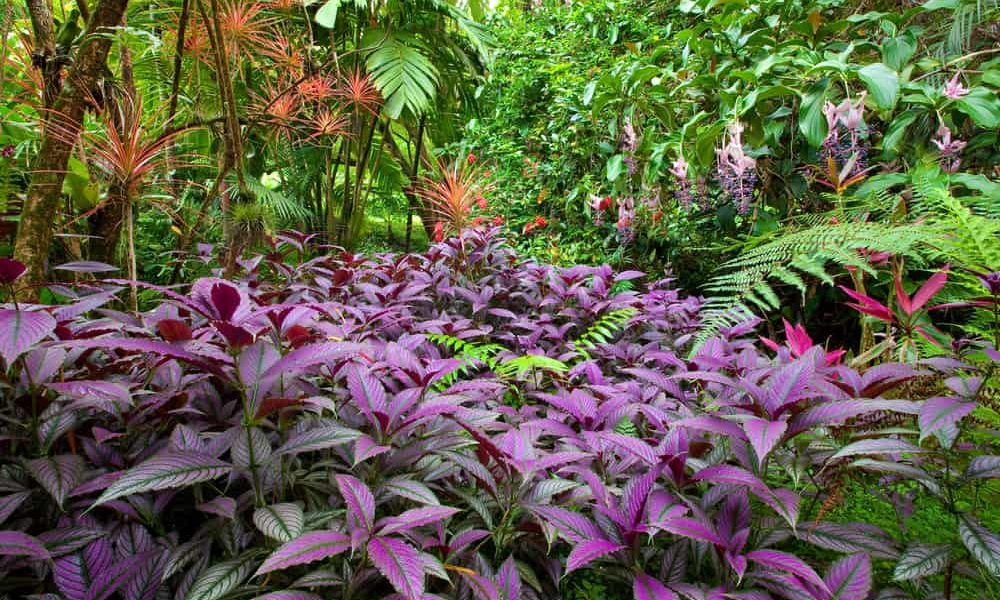 How to Grow & Care Persian Shield