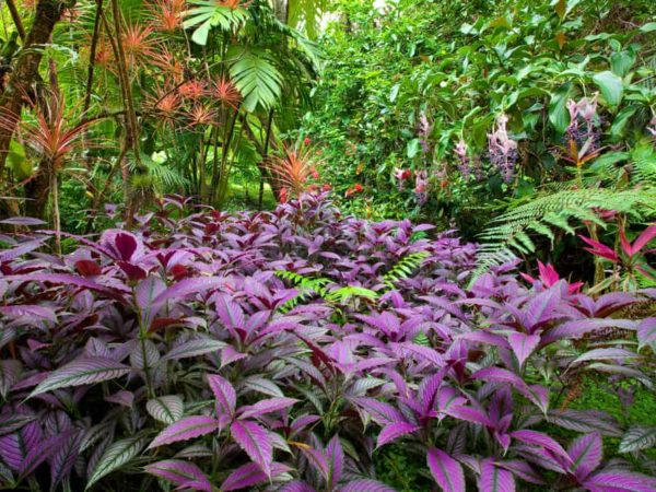 How to Plant Persian Shield in Your Garden (Tricks to Care!)