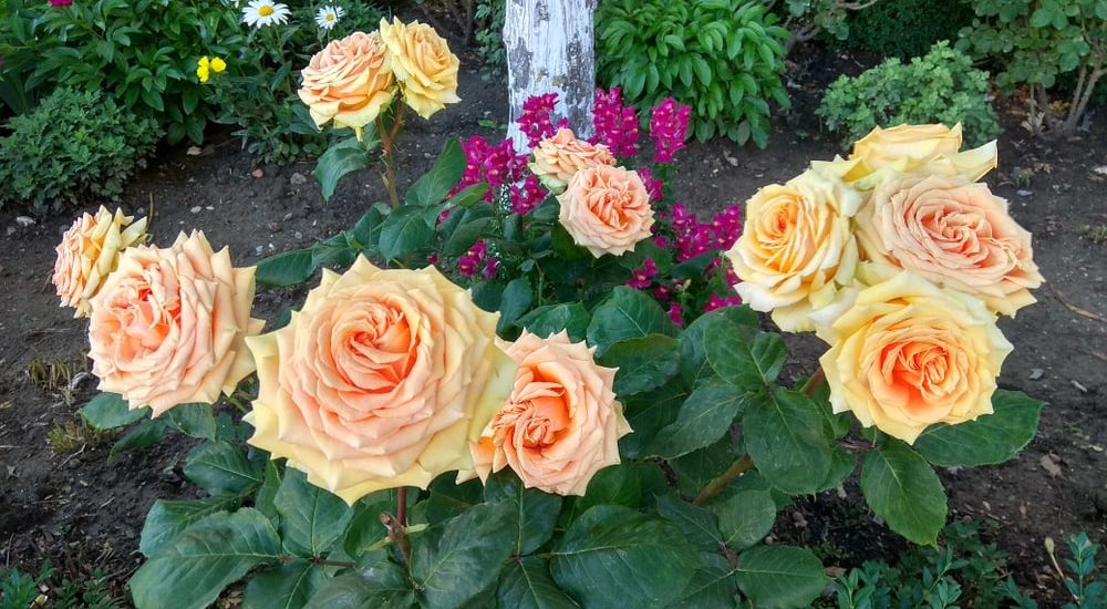 How to Grow & Care Rose in Your Garden