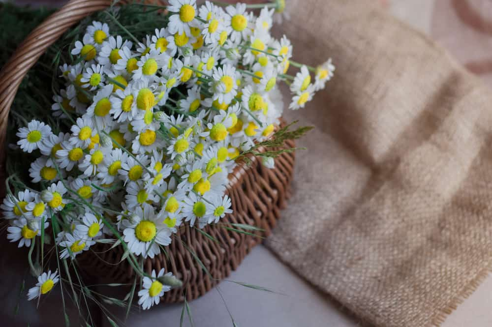 How to Harvest Feverfew Plant