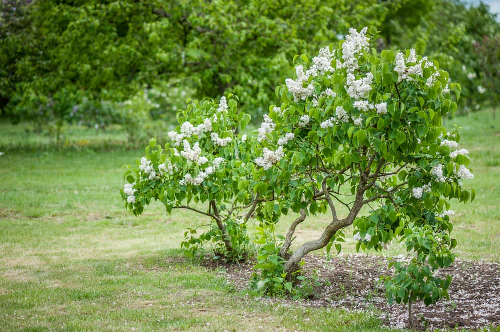 How to Plant Lilac 1