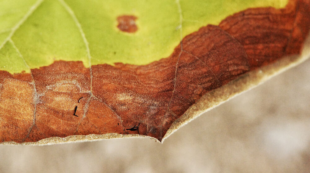 Lilac Bacterial blight