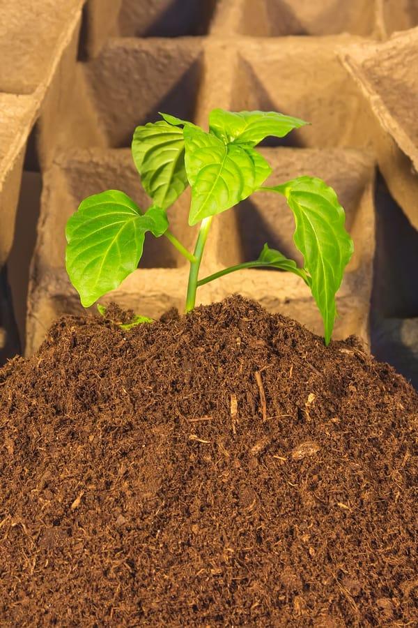 Peat moss (Sphagnum peat)