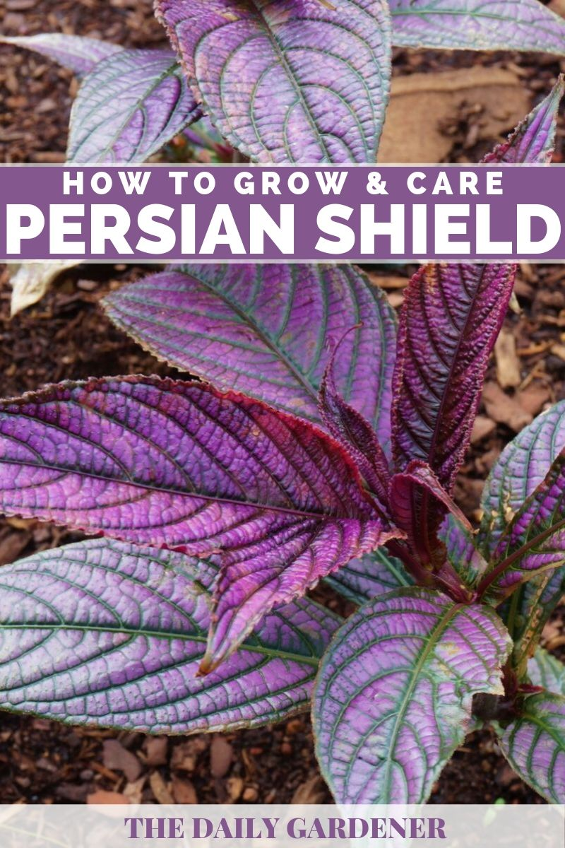 Persian Shield 3