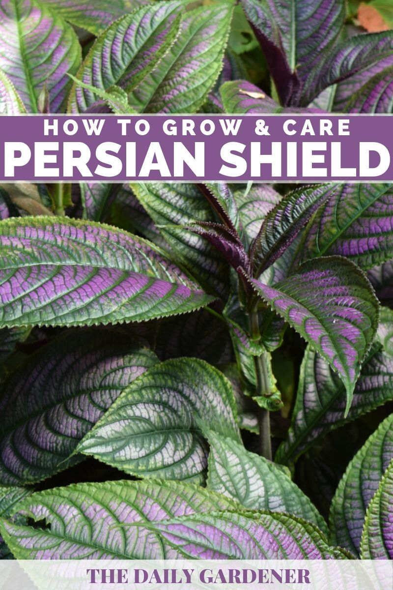 Persian Shield 4