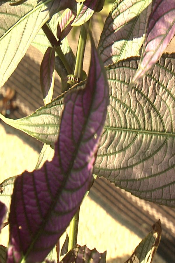 Persian Shield Fade foliage