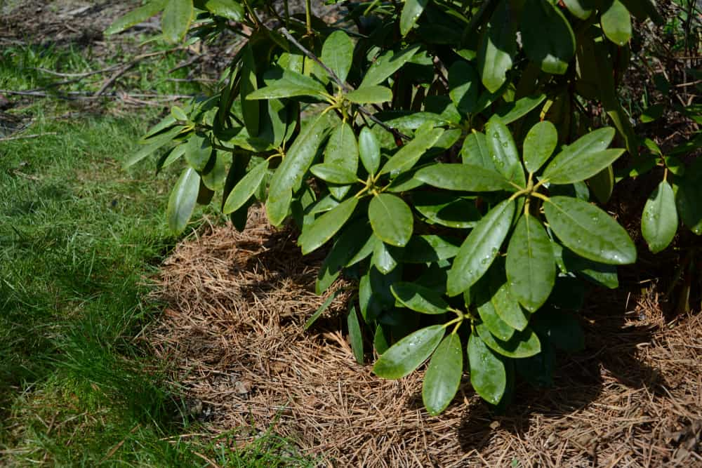 Pine needle mulch (Pine straw mulch)