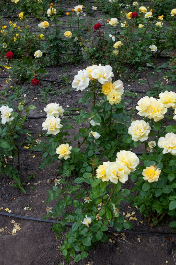 Rose Temperatures